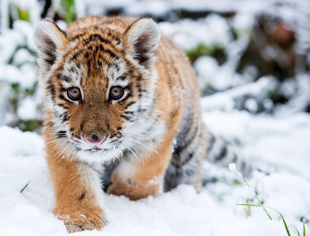 Il cucciolo di tigre siberiana Dragan, lo zoo di Eberswalde, Germania.