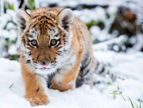 Il cucciolo di tigre siberiana Dragan, lo zoo di Eberswalde, Germania. - Sputnik Italia
