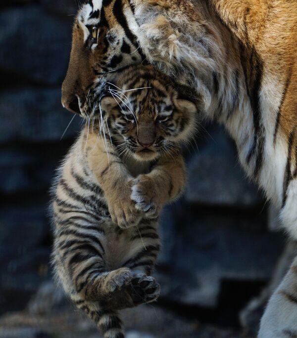 La tigre siberiana con il cucciolo, lo zoo di Novosibirsk. - Sputnik Italia