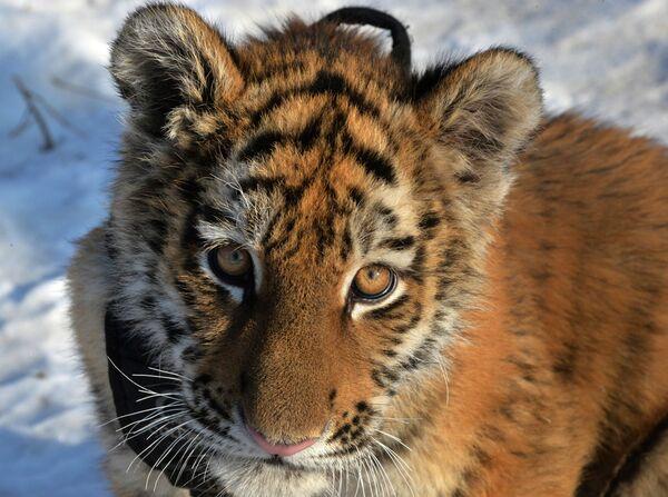 Il cucciolo di tigre siberiana Sherhan, che vive in un parco-safari nel territorio del Litorale, Russia. - Sputnik Italia