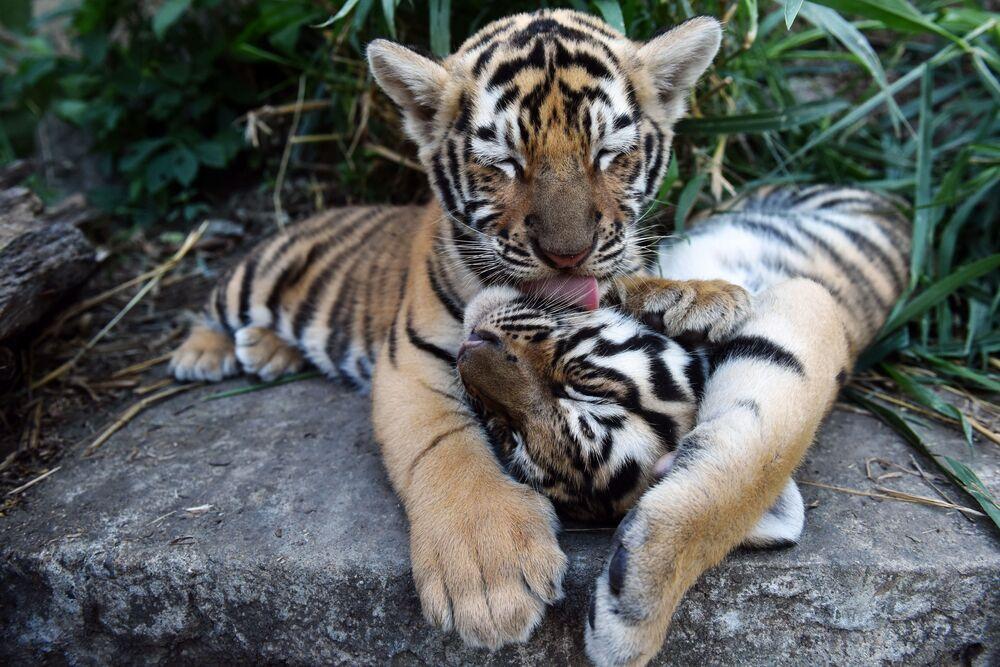 I cuccioli di tigre del Bengala che vivono al ricovero di animali in El Salvador.