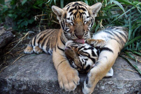 I cuccioli di tigre del Bengala che vivono al ricovero di animali in El Salvador. - Sputnik Italia