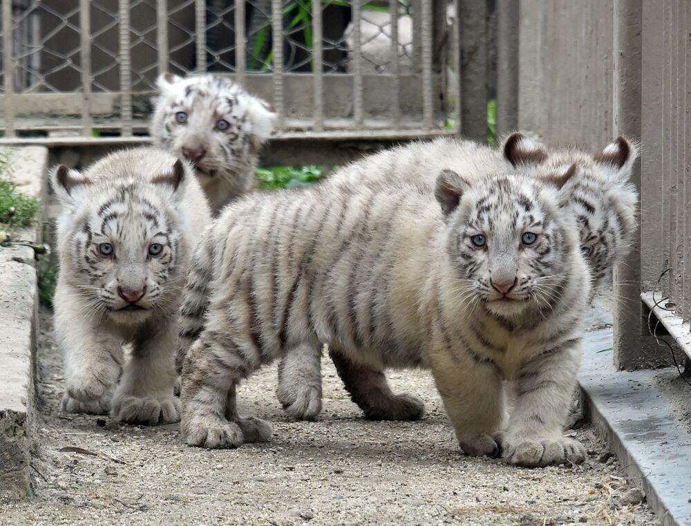 I cuccioli di tigre bianca, lo zoo di Tokyo.