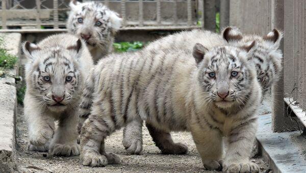 I cuccioli di tigre bianca, lo zoo di Tokyo. - Sputnik Italia
