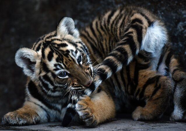 Il cucciolo di tigre del Bengala.