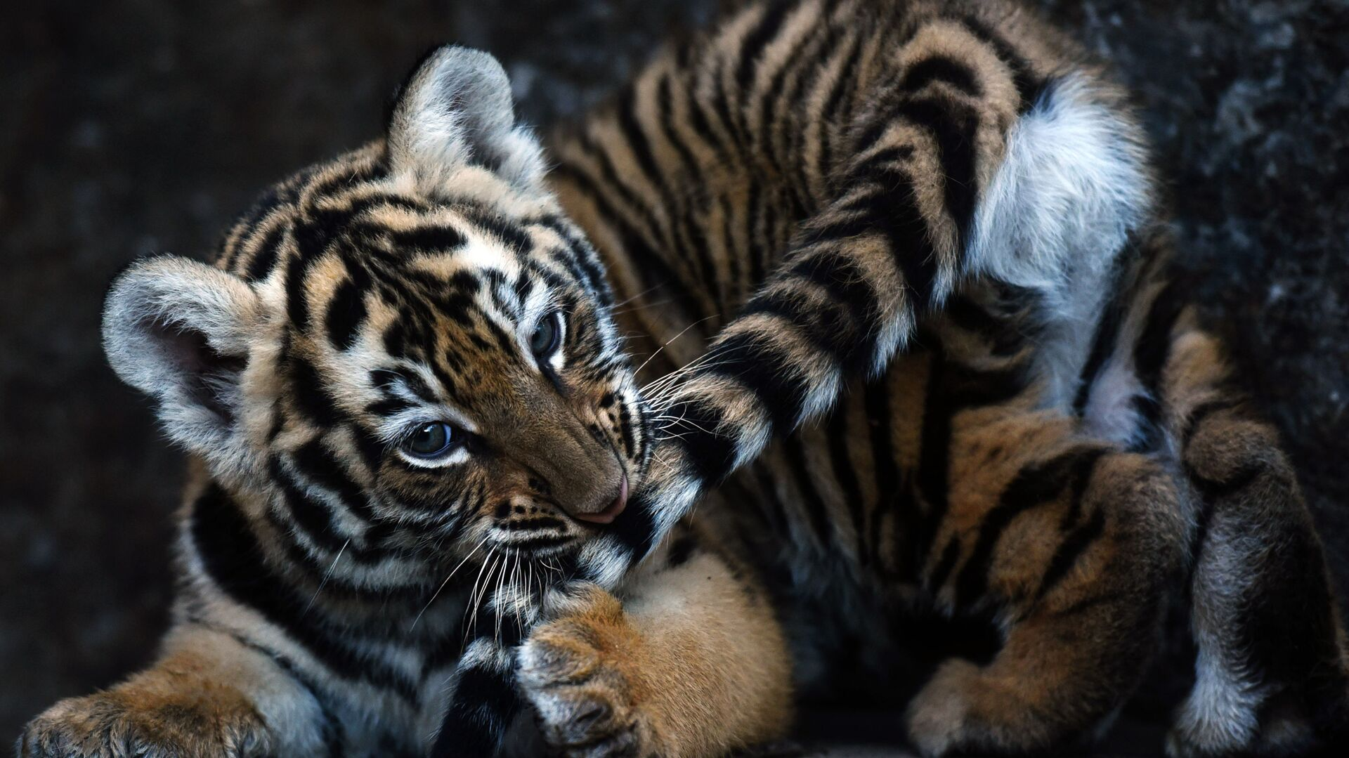 Il cucciolo di tigre del Bengala. - Sputnik Italia, 1920, 01.06.2021