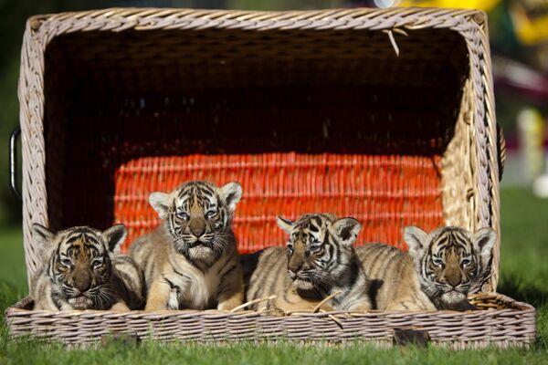 I cuccioli di tigre indocinese, lo zoo di Berlino. - Sputnik Italia