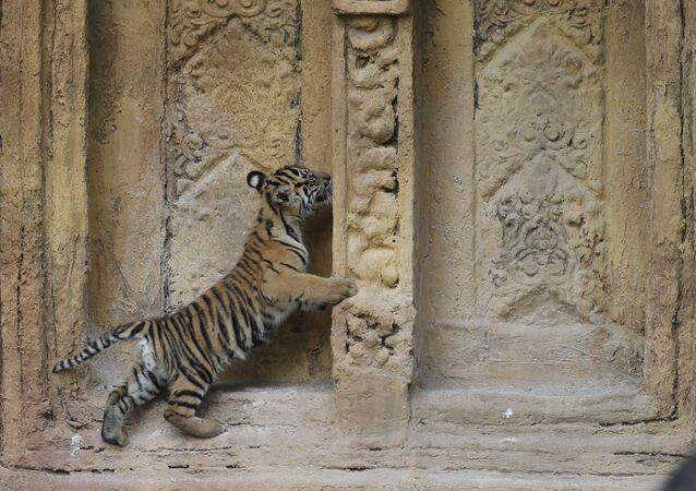 Il cucciolo di tigre di Sumatra, nato allo zoo di Miami.