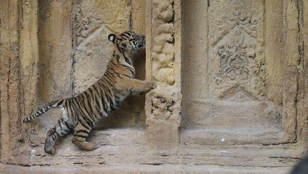 Il cucciolo di tigre di Sumatra, nato allo zoo di Miami. - Sputnik Italia