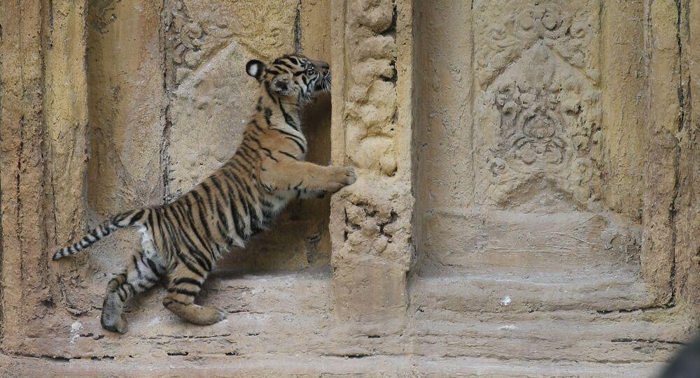 Francia, comprano online gatto Savannah e ricevono una tigre di Sumatra