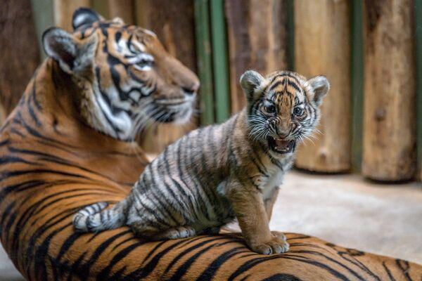 Il cucciolo di tigre malese, lo zoo di Praga.  - Sputnik Italia