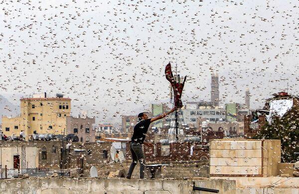 Uomo cerca di catturare delle locuste a Sanaa, in Yemen. - Sputnik Italia