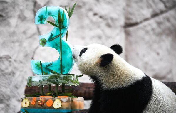 Il Panda Zhui festeggia il suo terzo compleanno allo Zoo di Mosca. - Sputnik Italia