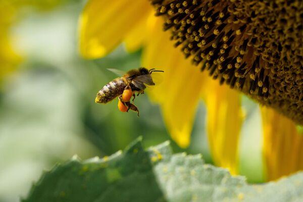 Un'ape sul fiore di un girasole. - Sputnik Italia