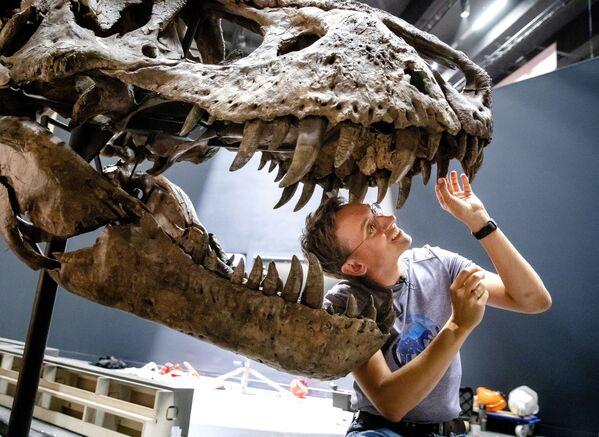 La paleontologa Anne Schulp aggiusta gli ultimi dettagli della ricostruzione a grandezza naturale dello scheletro di un Tyrannosaurus Rex, nel museo Naturalis di Leiden, Paesi Bassi - Sputnik Italia