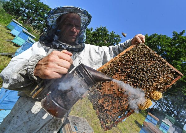 Raccolta del miele nel villaggio di Rakovka, vicino a Vladivostok - Sputnik Italia