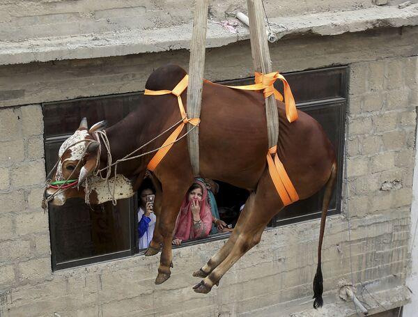 Pakistan: un bovino viene calato prima di essere macellato per la festa del sacrificio, l' Eid al-Adha, osservata dai musulmani - Sputnik Italia