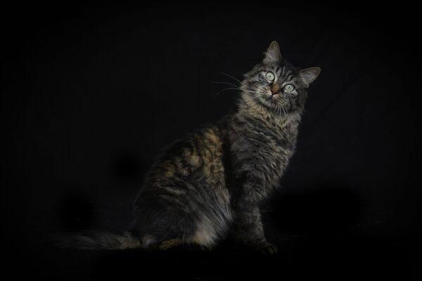 Camene, la gatta europea, posa per una foto nel rifugio.  - Sputnik Italia