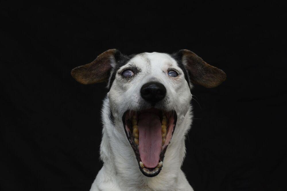 Arius, il Jack Russell Terrier cieco di 14 anni.