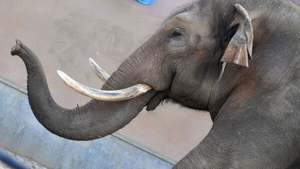 Un elefante  - Sputnik Italia