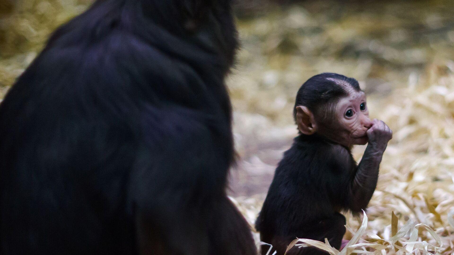 Piccolo di macaco appena nato  - Sputnik Italia, 1920, 18.07.2021