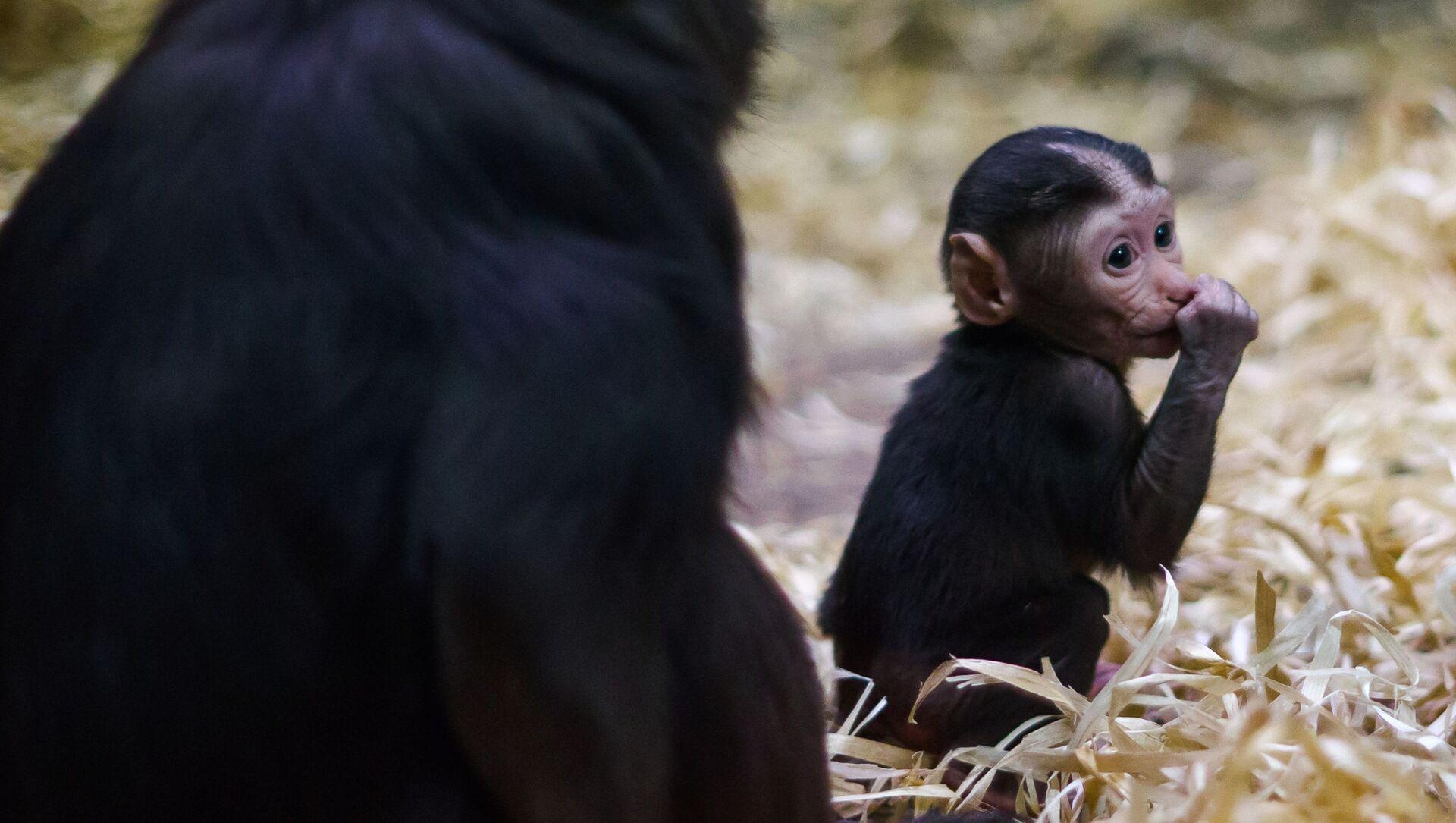 Piccolo di macaco appena nato  - Sputnik Italia, 1920, 18.05.2021
