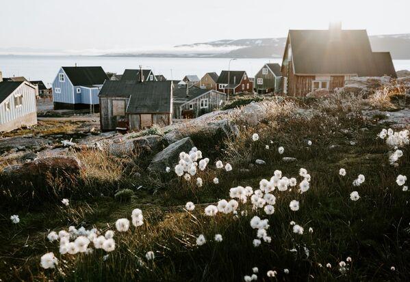 Fiori bianchi nei pressi di un villaggio in Groenlandia. - Sputnik Italia