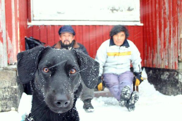 Anche questo cane vive in Groenlandia. - Sputnik Italia