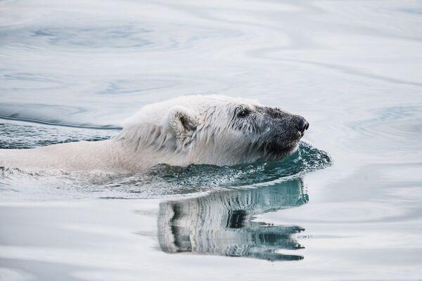 Un orso bianco, uno degli abitanti della Groenlandia. - Sputnik Italia