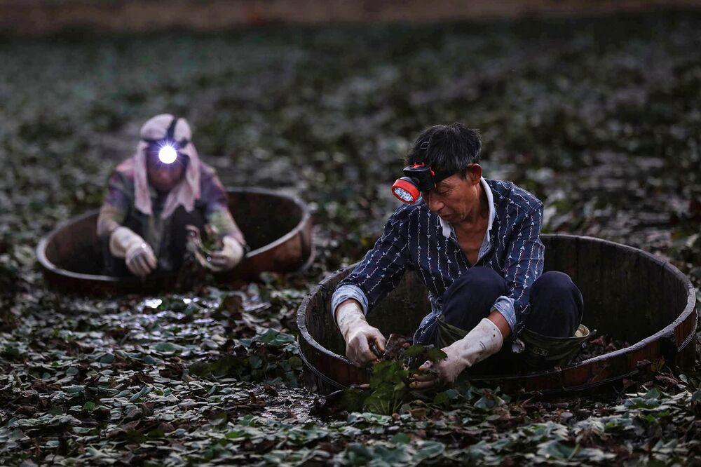 Gli agricoltori raccolgono le castagne d'acqua vicino alla città di Xiaogan, provincia di Hubei, in Cina.