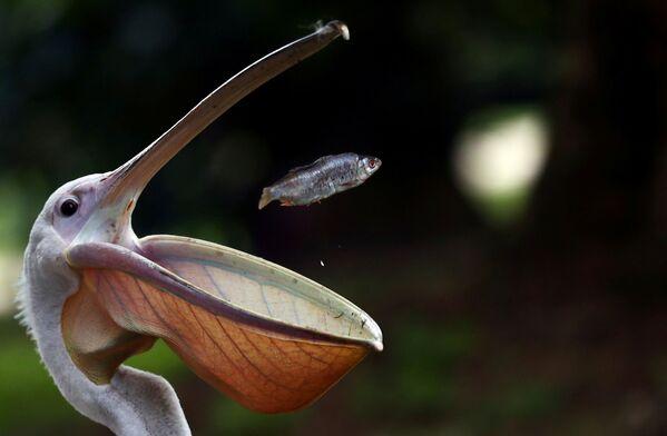 Pellicano a pesca nel St James's Park di Londra. - Sputnik Italia