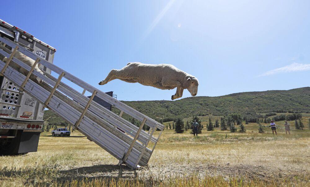 Delle pecore saltano da un camion al campionato Soldier Hollow Classic Sheepdog Championship negli Stati Uniti.