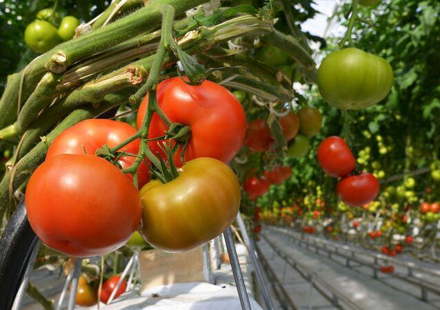 Pomodori in serra
