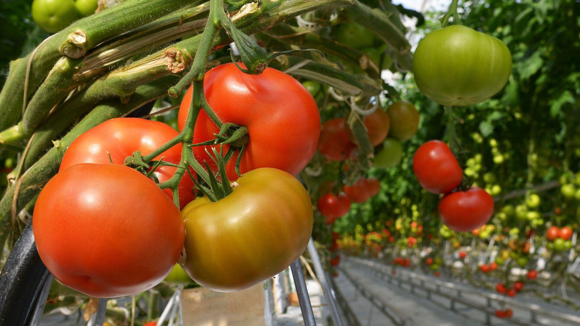 Pomodori in serra - Sputnik Italia, 1920, 04.09.2021