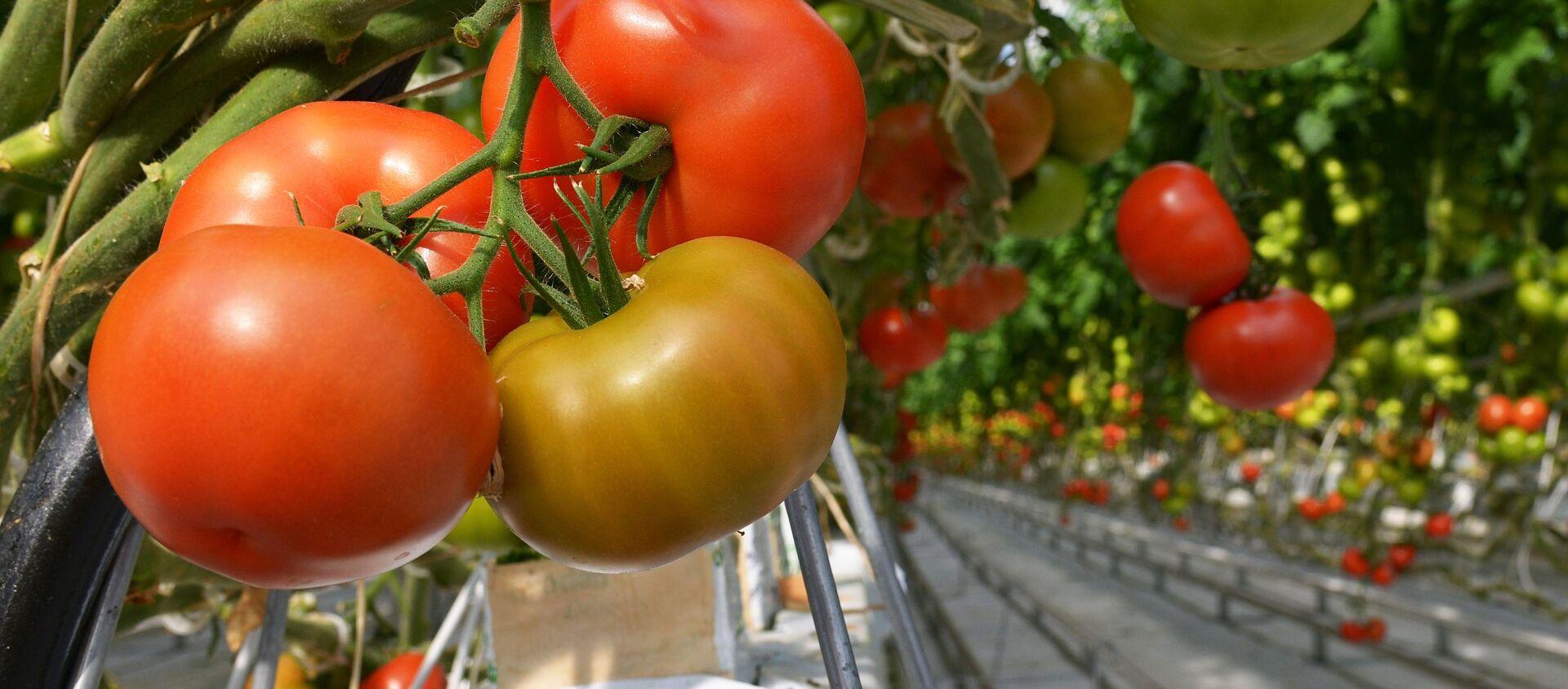 Pomodori in serra - Sputnik Italia, 1920, 10.04.2021
