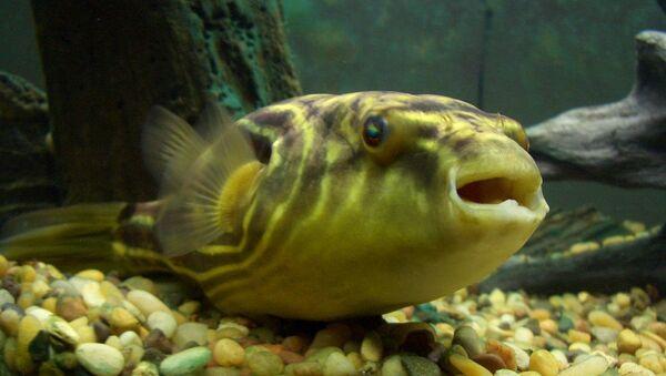 Tetraodon Lineatus - Pesce Palla del Nilo - Sputnik Italia