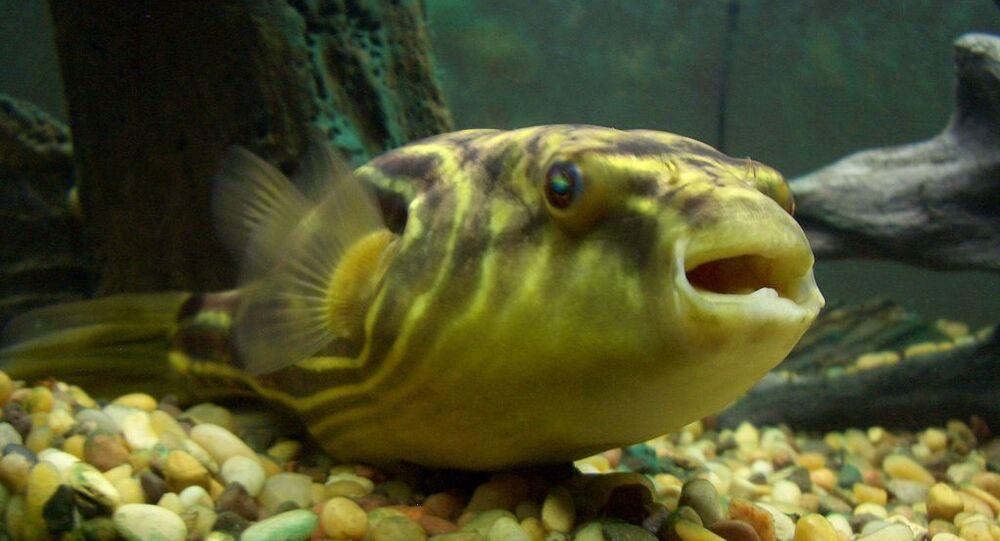 Tetraodon Lineatus - Pesce Palla del Nilo