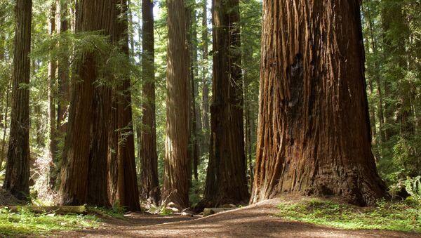 Le sequoie sempreverde - Sputnik Italia