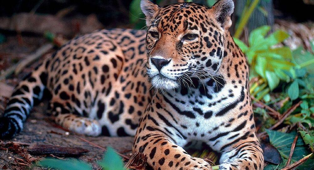 Giaguaro seduto