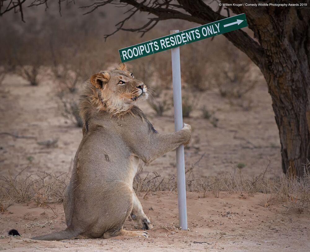 Willem Kruger riprende un leone che dà le indicazioni per raggiungere un campeggio nel parco Kgalagadi, in Sud Africa.
