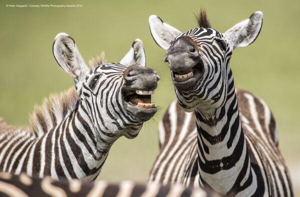 Peter Haygarth riprende due zebre che ridono. - Sputnik Italia