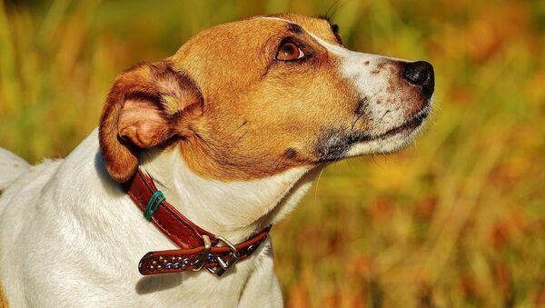 Jack Russell Terrier - Sputnik Italia