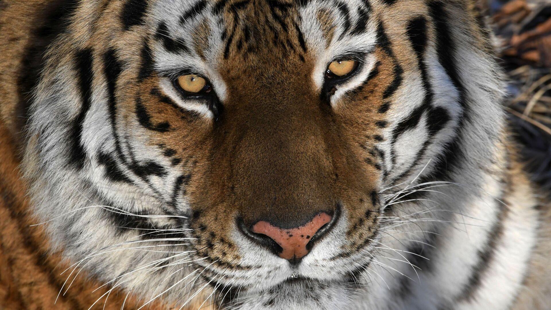 La tigre dell'Amur - Sputnik Italia, 1920, 09.06.2021