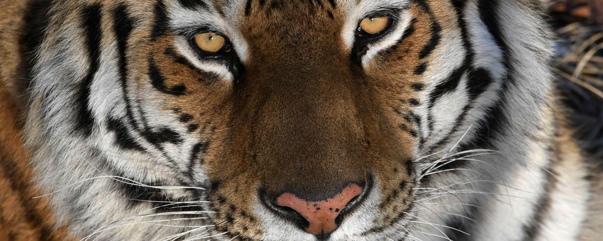 La tigre dell'Amur - Sputnik Italia, 1920, 06.04.2020
