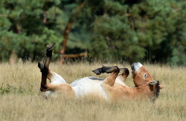 il cavallo di Przewalski  - Sputnik Italia