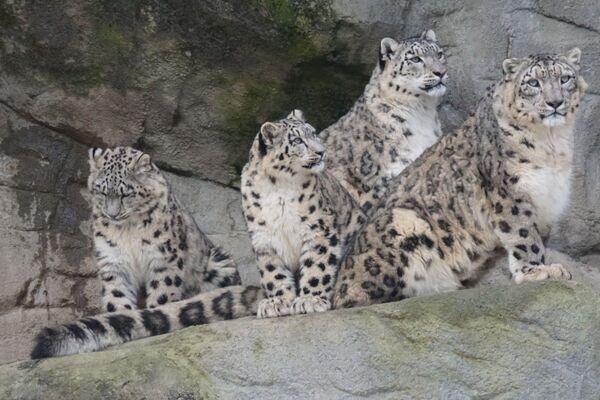 l leopardi delle nevi - Sputnik Italia
