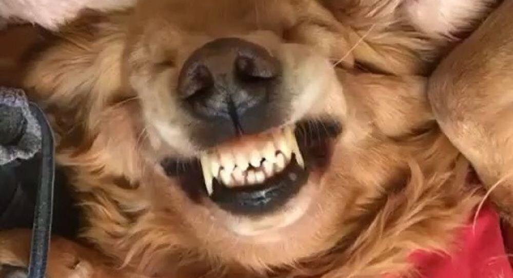Golden Retriever sorride