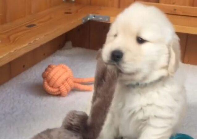 Golden retriever con orsacchiotto