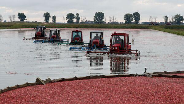 Raccolta di mirtilli rossi nel villaggio bielorusso di Selishche. - Sputnik Italia