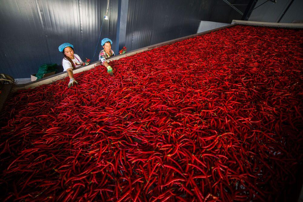 I lavoratori selezionano i peperoncini in provincia di Guizhou, Cina.